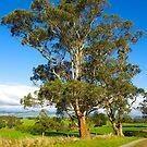 Remnant Eucalyptus, Mt Worth, Gippsland, Australia. by johnrf