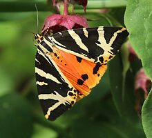 Jersey Tiger Moth by Rivendell7
