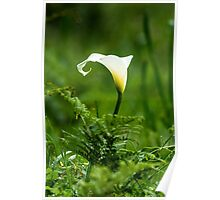 Lilly flower Poster