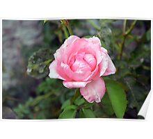 Pink rose, natural background. Poster