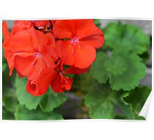 Red vivid flowers and green leaves Poster