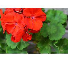 Red vivid flowers and green leaves Photographic Print