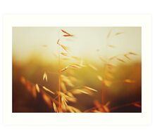 Oat field in sunset. Close up view. Art Print