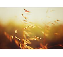 Oat field in sunset. Close up view. Photographic Print