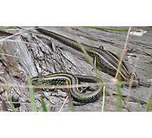 Swamp Skinks. Photographic Print
