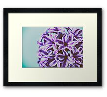 Wet Common Dutch Garden Hyacinth (Hyacinthus Orientalis) With Water Droplets Framed Print