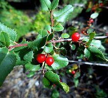 Red Berries by Chris Gudger