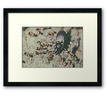 Colony Of Ants Dismember And Eating Beetle Closeup Framed Print