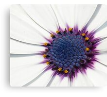 Beautiful White African Daisy Close-Up  Macro Canvas Print