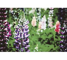 Purple And Pink Snapdragon Flowers In Spring Photographic Print