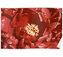 Peony (Paeonia) Flower Close Up Poster