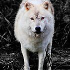 The Wolf Stare by Vicki Spindler (VHS Photography)