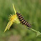 Cinnabar Moth Caterpillar On Ragwort by Adrian Wale