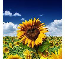 Sunflower Heart Photographic Print