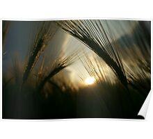 Barley Field Poster