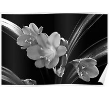 Mother's Clivia Lily Poster