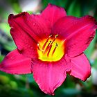 Vibrant Red Lily by Cynthia48