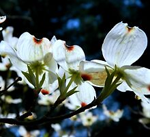 Dogwood in the Spring by ctheworld