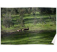 Kangaroos Eltham Victoria Australia 20160802 7263  Poster