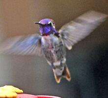 MALE COSTA'S IN FLIGHT TO FEEDER by JAYMILO