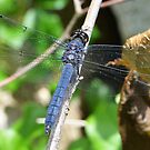 Slaty Skimmer by William Brennan