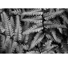 Silvery Ferns BW Photographic Print