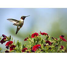 Hummingbird Frolic with Flowers Photographic Print
