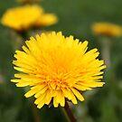 Dandelion ~ Taraxacum by Jan  Tribe