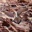 Kestrel at Long Reef NSW by Doug Cliff