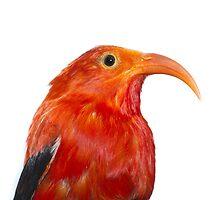 I'iwi Bird by Zach Pezzillo