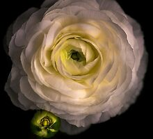 Ranunculus protectiveness and supportiveness out of the darness. by alan shapiro
