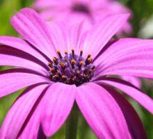 Side View Of A Purple Osteospermum With Garden Background Sticker