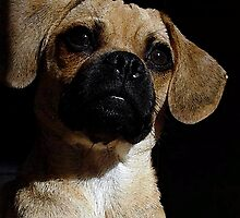 Puggle Dog Portrait   by Oldetimemercan