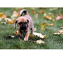 Puggle Puppy Dog Portrait Photographic Print
