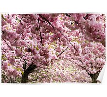 Cherry blossoms in Milan, Italy Poster