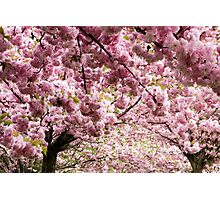 Cherry blossoms in Milan, Italy Photographic Print