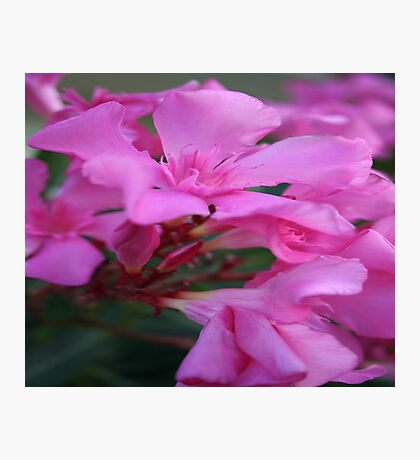 Pink Oleander Flower Photographic Print