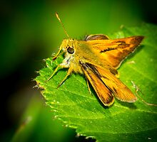 Fiery Skipper by RandyHume