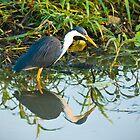 Pied Heron - Kakadu National Park, NT by Dilshara Hill