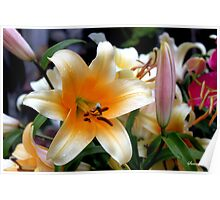 Tequila Sunrise Lily with Raindrops Poster