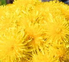 boy holds bouquet of yellow dandelions Sticker