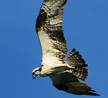 Diving Osprey by Lisa Cook