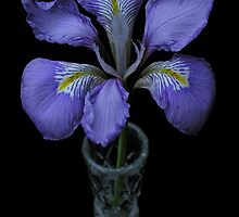 A single bloom of Iris Unguicularis in a cut crystal specimen vase by Philip Mitchell