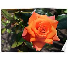 red orange rose with bright petals Poster