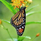 Just hanging around - Monarch! by Poete100