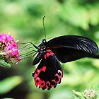 Scarlet Swallowtail - Popilio rumanzovia by Poete100