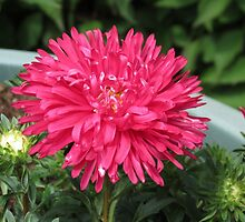 Delightful Dahlia by BlueMoonRose