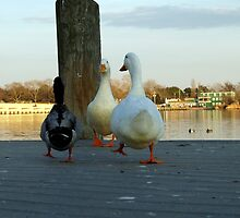 Duck Stroll by nastruck