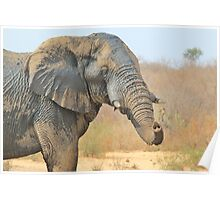 Elephant Bull - Beautiful Mud - African Wildlife Poster