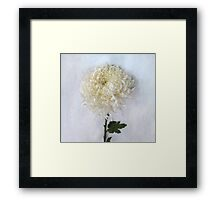 Curly White Mum Framed Print